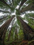 使人产生敬畏心的红木 免版税库存照片