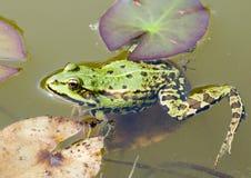 使变冷的青蛙 库存图片