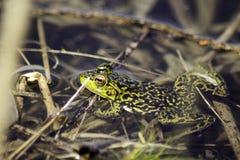 使变冷的青蛙 免版税库存图片
