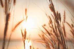 使命草或羽毛狼尾草和日落,葡萄酒背景 免版税库存照片
