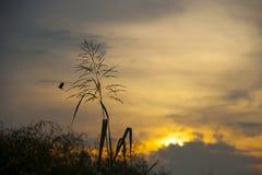 使命草,橙色天空背景剪影在日落的 免版税库存照片
