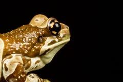 使命金黄目的雨蛙或亚马逊牛奶青蛙(Trachycephalu 库存图片