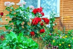使在房子附近的区域环境美化 红色和桃红色玫瑰丛 绿化 免版税库存图片