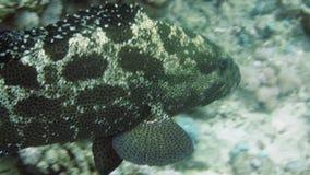 使布朗有大理石花纹的石斑鱼和热带礁石