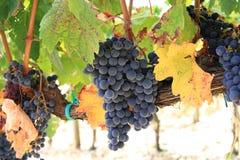 使成熟的葡萄成群 免版税库存照片