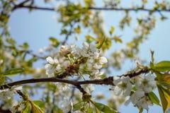 使春天美好的樱花 免版税库存图片