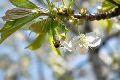 使春天美好的樱花 免版税图库摄影