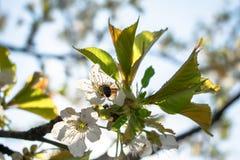 使春天美好的樱花 库存图片