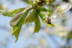 使春天美好的樱花 免版税库存照片
