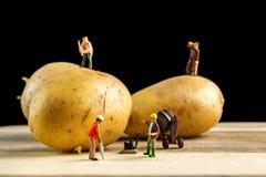 使最佳的土豆成为可能的坚硬队工作 库存照片