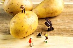使最佳的土豆成为可能的坚硬队工作 免版税图库摄影
