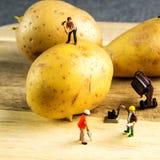 使最佳的土豆成为可能的坚硬队工作 免版税库存图片