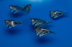 使有大理石花纹的柴刀鱼小组学校 库存照片