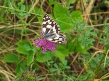 使有大理石花纹的白色蝴蝶Melanargia galathea 免版税图库摄影