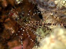 使有大理石花纹的虾(Saron marmoratus)红海 图库摄影