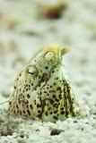 使有大理石花纹的蛇鳗鱼- Callechelys marmorata 库存图片