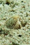 使有大理石花纹的蛇鳗鱼- Callechelys marmorata 免版税库存照片