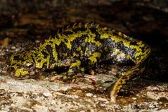 使有大理石花纹的蝾螈Triturus marmoratus在Mouruas,奥伦塞,西班牙 免版税图库摄影