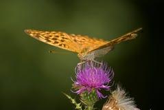 使有大理石花纹的贝母(Brenthis daphne), Decani,科索沃 库存图片
