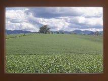 使有戏曲云彩的茶农场环境美化在红色框架 图库摄影