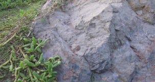 使有靠岸的近干燥苛刻的山岩石对此的小植物 股票视频