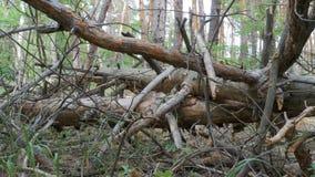 使杉木森林、下落的日志干燥树和植被的看法环境美化 股票视频