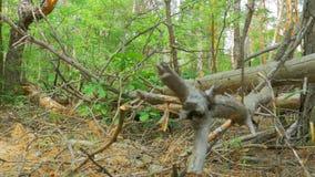 使杉木森林、下落的日志干燥树和植被的看法环境美化 股票录像