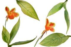 使植物环境美化的热带庭院多样化了Canna叶子或 免版税库存照片
