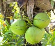 使椰子绿色成群 免版税库存图片
