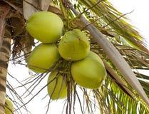 使椰子绿色成群 库存照片