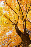 使槭树环境美化 免版税库存图片