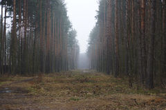 使模糊在一块沼地在森林里,在路的两边杉树 免版税库存照片