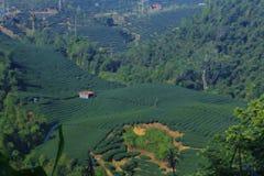 种植茶 免版税图库摄影
