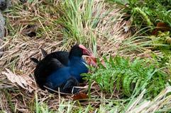 使母鸡陷入沼泽 库存图片
