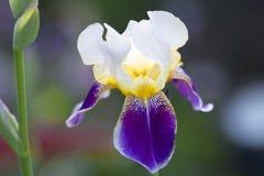 使现虹彩,美丽的白色,黄色和紫罗兰色虹膜,黑暗的背景 库存照片