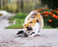 使用与一只被捉住的老鼠的美丽的猫跑在附近和 免版税库存照片