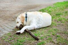 使用与一块木头的狗 库存照片