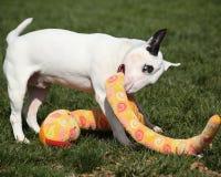 使用与一件填充动物玩偶的白色杂种犬 免版税图库摄影