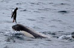 使用与企鹅的虎鲸 免版税库存图片