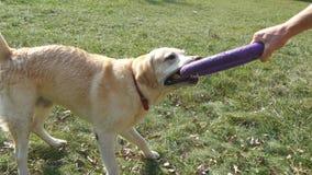 年轻使用与动物室外的玩具的人和狗在自然 拉布拉多或金毛猎犬咬住并且拉扯玩具从 库存图片