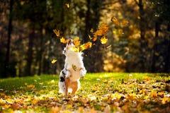 使用与叶子的新澳大利亚牧羊人 免版税库存图片