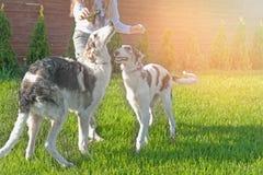 使用与品种俄国人俄国猎狼犬两条狗的女孩  定调子 免版税库存图片