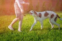 使用与品种俄国人俄国猎狼犬两条狗的女孩  库存图片
