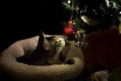 使用与圣诞树装饰品的猫 免版税库存照片