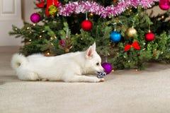 使用与圣诞节玩具的愉快的小狗在假日期间 库存照片