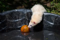 使用与在小家伙水池的球的家养的白鼬 免版税库存照片