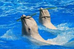 使用与在水池的圆环的两条白色白海豚鲸鱼 免版税库存照片