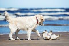 使用与在海滩的一只小狗的金毛猎犬狗 免版税库存图片