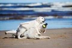 使用与在海滩的一只小狗的金毛猎犬狗 图库摄影