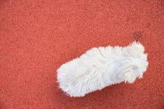 使用与在红色网球场的一个球的马尔他小狗 免版税库存照片